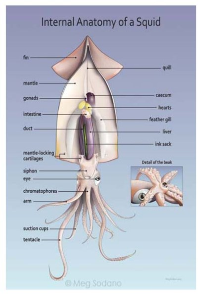Squid Internal