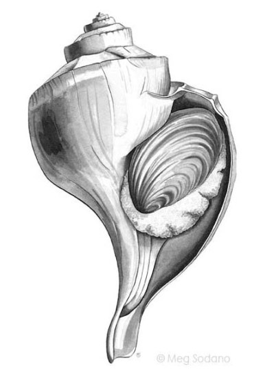 Channeled Whelk (V)