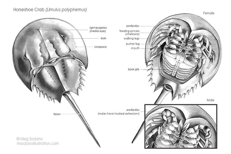 Natural Science Portfolio Meg Sodano Illustration Design
