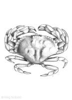 Rock Crab Dorsal