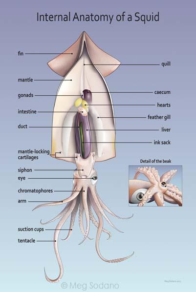 External Squid Diagram Dorsal Ventral Complete Wiring Diagrams