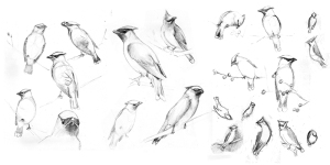 waxwing sketches
