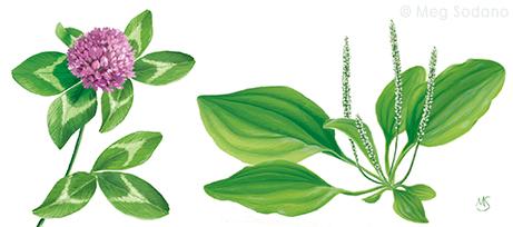 clover-plantain
