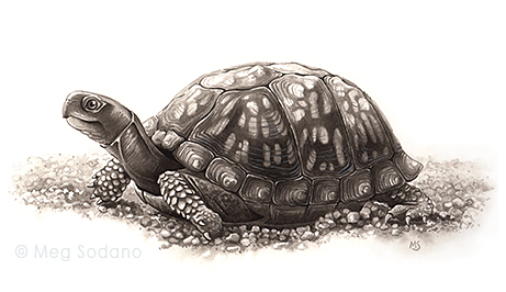 Eastern Box Turtle, India ink on watercolor paper