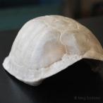 Box turtle carapace