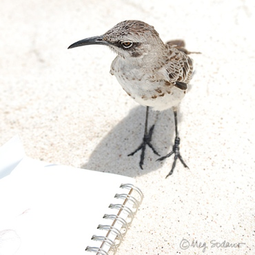 Española Mockingbird inspects my sketchbook