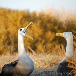 Waved albatrosses