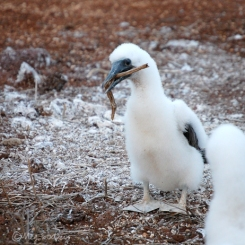 Blue-footed booby chick playing with a twig