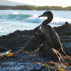 Flightless cormorant chicks with mother