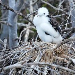 Frigate bird chick
