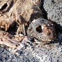 gps-iguana-carcass