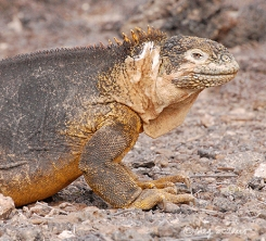Land iguana at South Plaza