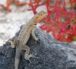 Lava lizard at Sombrero Chino