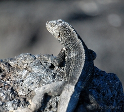 Lava lizard at Fernandina