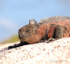 Marine iguana at Espanola
