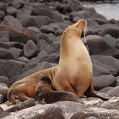 Sea lion with newborn