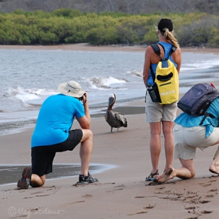 Photographing a brown pelican