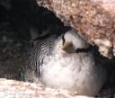 gps-tropicbird-chick