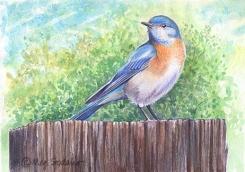 Western Bluebird (watercolor, colored pencils)