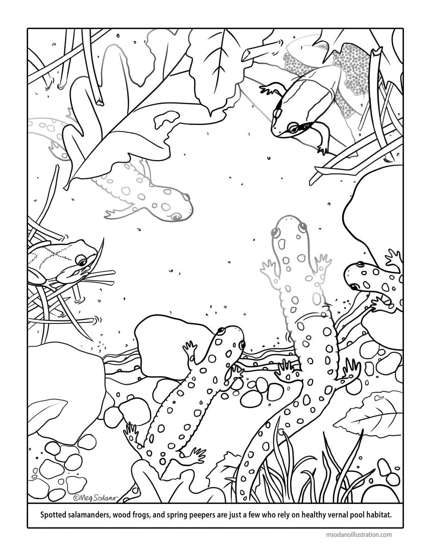vernal pool coloring page – meg sodano – illustration & design