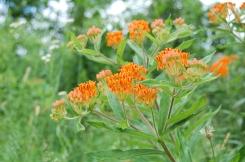 Butterfly milkweed (3)