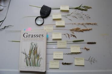 Grasses ID (8)